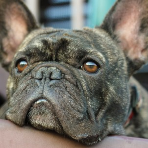 Bogart -French Bulldog
