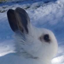 Charlie - Dwarf Netherland Rabbit
