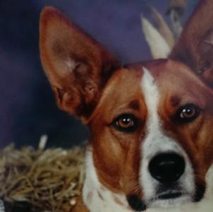 Dharma - Basenji/Cattle Dog
