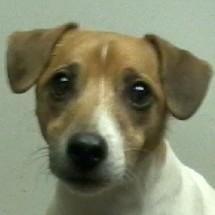 Snoop - Jack Russell Terrier