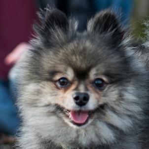 Tyson - Pomeranian