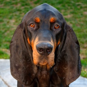 Black and Tan Coonhound - Tod