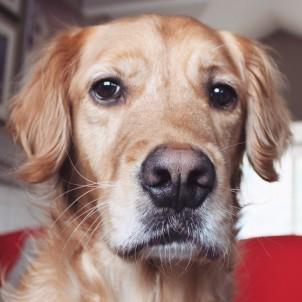 Rusty - Golden Retriever