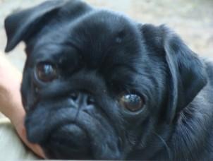Marigold - Pug