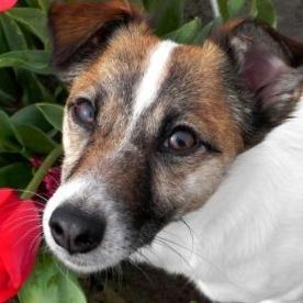 Roo - Jack Russell Terrier