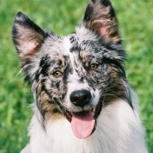 Zeke - Border Collie/Australian Shepherd