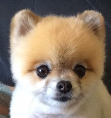 Marley - Toy Pomeranian