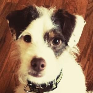 Gus - MInPin/Terrier Mix