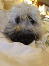 Finnegan - Soft Coated Wheaten Terrier
