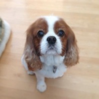 Toby - King Charles Cavalier