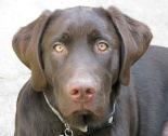 Cooper - Labrador