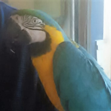 Tiger - Blue and Gold Macaw